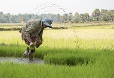 Colheita do arroz foto de stock royalty free
