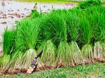 Colheita do arroz do Seedling Fotografia de Stock Royalty Free
