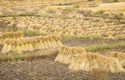 colheita do arroz 'paddy' Foto de Stock
