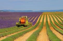 Colheita do campo da alfazema Fotografia de Stock