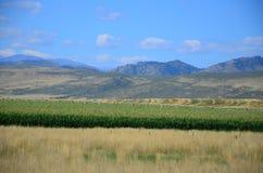 Colheita do campo de milho Fotografia de Stock