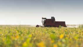 Colheita do campo do feijão da soja com liga Foto de Stock Royalty Free