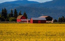 Colheita do Canola e celeiros vermelhos Imagens de Stock Royalty Free