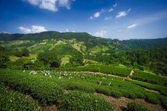 Colheita do chá em Chang Rai Thailand imagens de stock royalty free