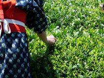 Colheita do chá em Japão fotos de stock royalty free