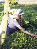 Colheita do chá no país do monte de Sri Lanka imagens de stock royalty free