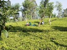 Colheita do chá no país do monte de Sri Lanka imagem de stock