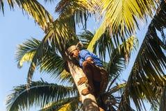 Colheita do coco Fotos de Stock
