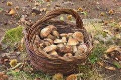 Colheita do cogumelo Imagens de Stock Royalty Free