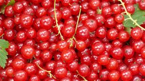A colheita do corinto vermelho video estoque