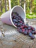 Colheita do Huckleberry Fotografia de Stock