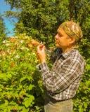 Colheita do jardineiro do homem superior e framboesas comer no arbusto Imagens de Stock