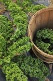 Colheita do Kale Foto de Stock Royalty Free