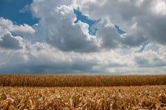 A colheita do milho fotografia de stock royalty free