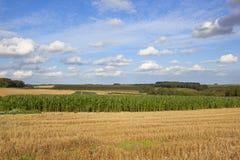 Colheita do milho no tempo de colheita fotografia de stock royalty free