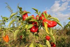 Colheita do outono de pimentas vermelhas Pimentas próximas que crescem no gard Fotografia de Stock Royalty Free