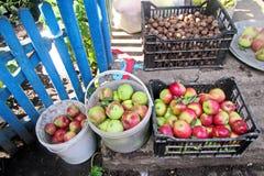 A colheita do outono dos frutos, maçãs, ts do NU recolheu em umas cubetas e em umas caixas fotos de stock