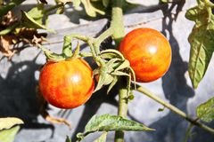 Colheita do outono dos vegetais e do close-up dos frutos fotografia de stock
