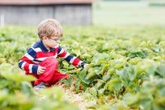 A colheita do rapaz pequeno e as morangos comer na baga cultivam Imagens de Stock Royalty Free