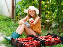 Colheita do tomate Imagens de Stock