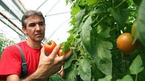 Colheita do tomate na estufa Imagens de Stock