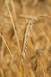 Colheita do trigo Fotografia de Stock