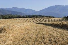 A colheita do trigo fotografia de stock