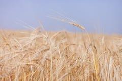Colheita do trigo Imagem de Stock