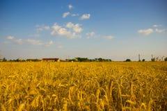 Colheita do trigo imagens de stock royalty free