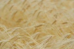 Colheita do trigo do ouro Foto de Stock Royalty Free