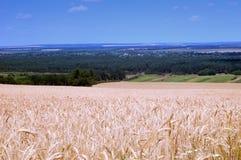 Colheita do trigo maduro Fotos de Stock Royalty Free