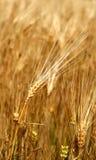 Colheita do trigo no campo Fotografia de Stock Royalty Free