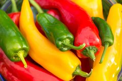 Colheita do verão as pimentas doces recentemente escolheu, do vermelho, as verdes e as amarelas, colocando na grama no jardim Imagem de Stock