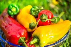 Colheita do verão as pimentas doces recentemente escolheu, do vermelho, as verdes e as amarelas, colocando na grama no jardim Fotos de Stock Royalty Free