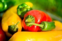 Colheita do verão as pimentas doces recentemente escolheu, do vermelho, as verdes e as amarelas, colocando na grama no jardim Fotografia de Stock