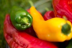 Colheita do verão as pimentas doces recentemente escolheu, do vermelho, as verdes e as amarelas, colocando na grama no jardim Imagens de Stock