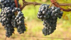 Colheita do vinho video estoque