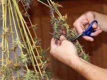 Colheita doméstica da marijuana Fotografia de Stock