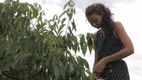 Colheita dos frutos e das bagas filme