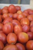 Colheita dos tomates Imagens de Stock Royalty Free