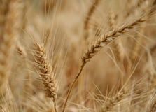 A colheita dourada Foto de Stock Royalty Free