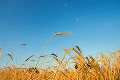 Colheita dourada da cor no tempo do por do sol fotografia de stock