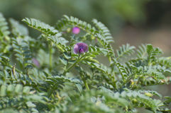 Colheita e flor do grama do grão-de-bico Imagens de Stock