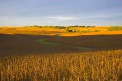 A colheita está próximo Foto de Stock
