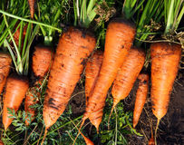 Colheita fresca da cenoura Foto de Stock