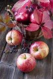 Colheita fresca das maçãs Fotografia de Stock Royalty Free