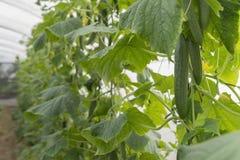 Colheita fresca do pepino fotografia de stock royalty free