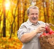 Colheita maçãs Imagens de Stock
