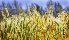 Colheita madura do trigo Fotografia de Stock