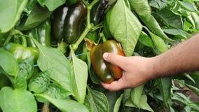 Colheita manual de machos e corte de paprika vermelha da planta em estufa video estoque